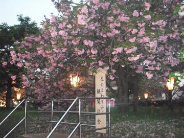 造幣局広島桜1