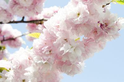 八重桜メイン