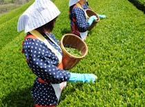 茶摘みアイキャッチ