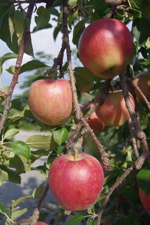 りんごメイン